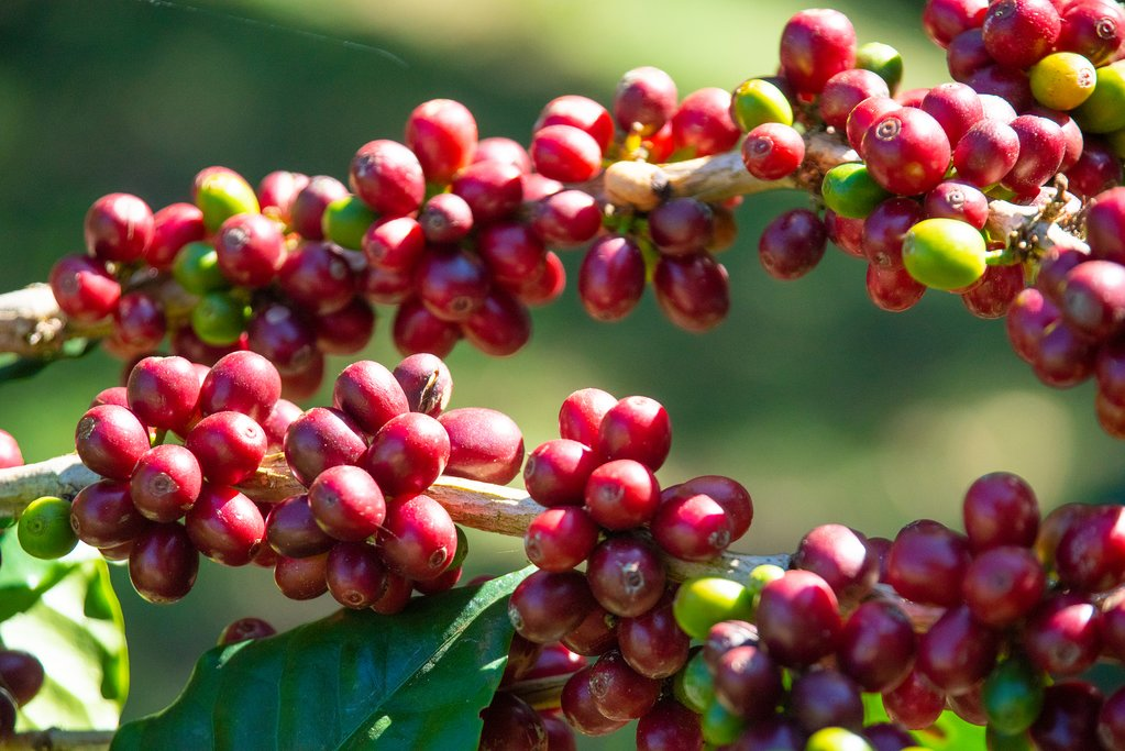 Coffee beans ready for the harvest.