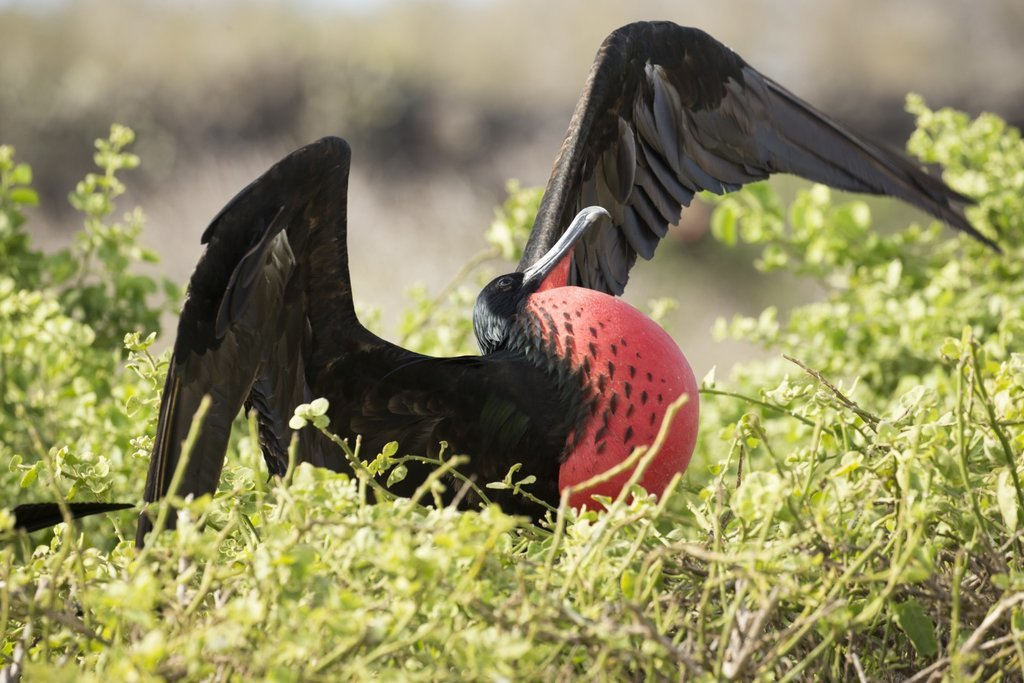 Frigate Bird on North Seymour Island
