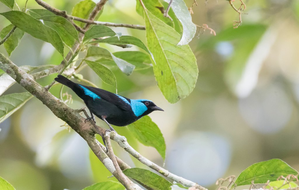 The scarlet-thighed dacnis