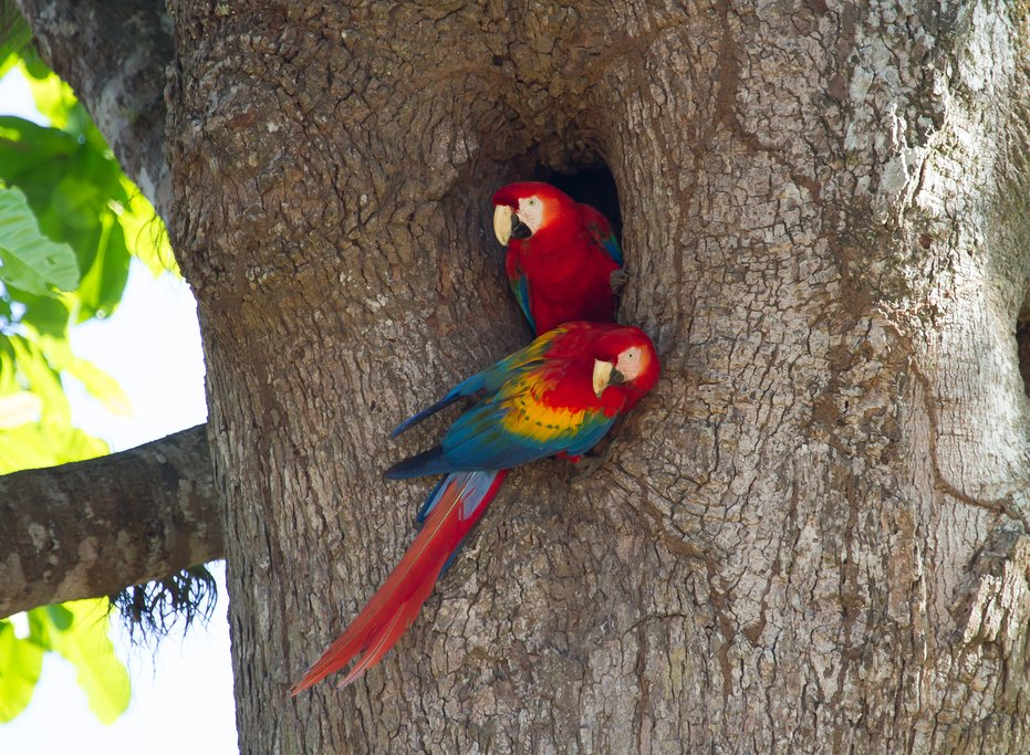 Carara National Park is one of the best places to spot the scarlet macaw
