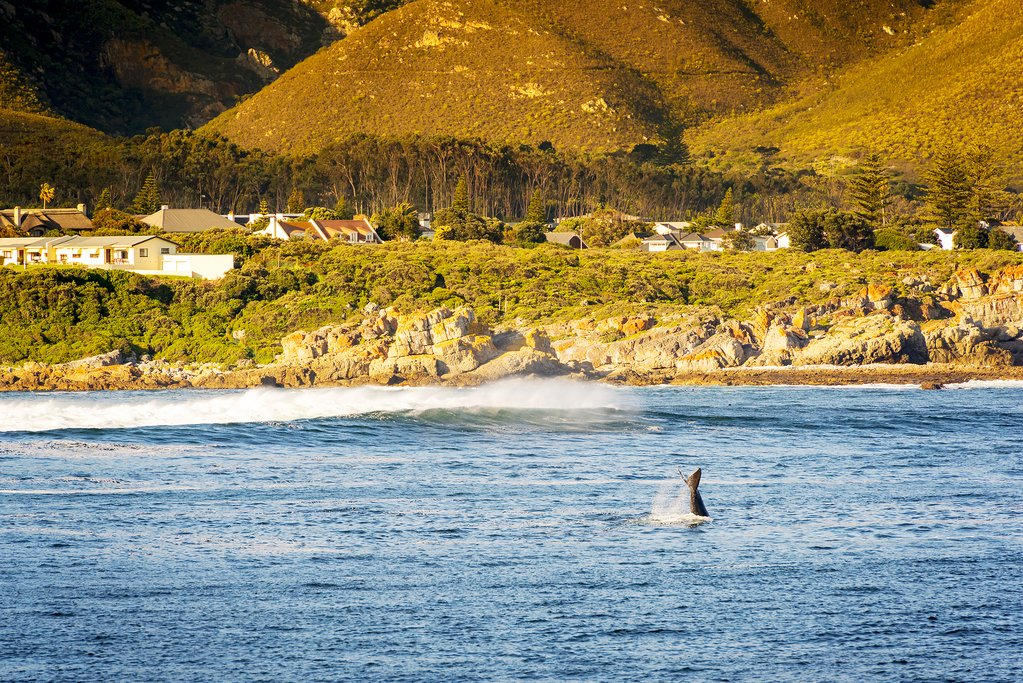 Whale Watching Near Hermanus