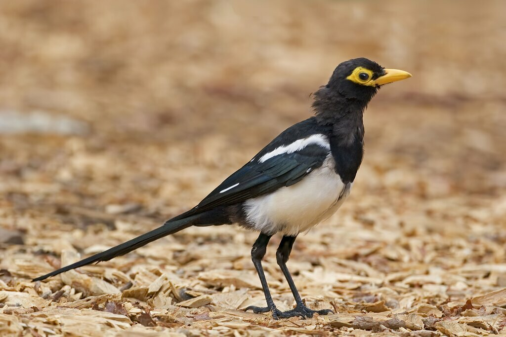 A yellow-billed magpie