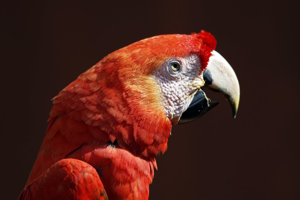 A scarlet macaw in the Amazon rainforest