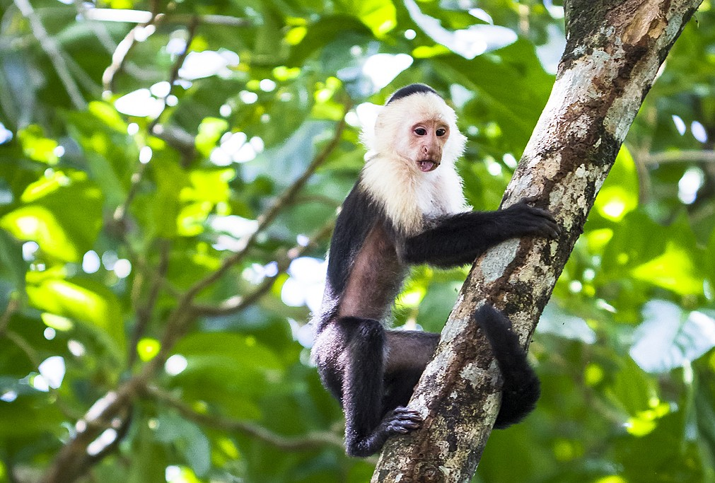 Costa Rica's white-faced capuchin monkeys