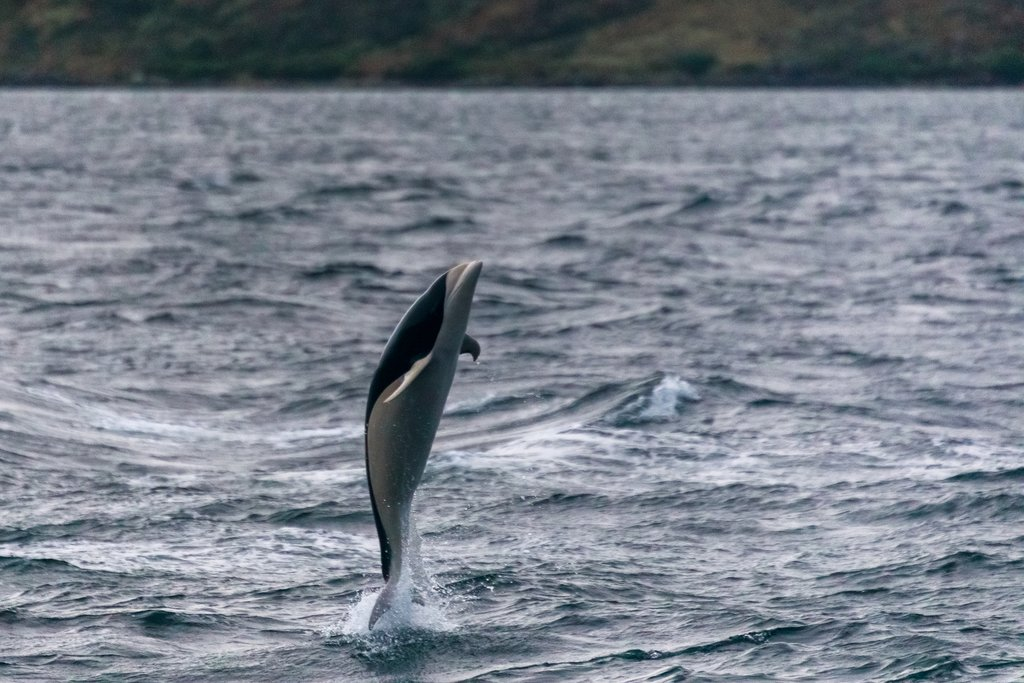 Spot Chilean dolphins in the Strait of Magellan