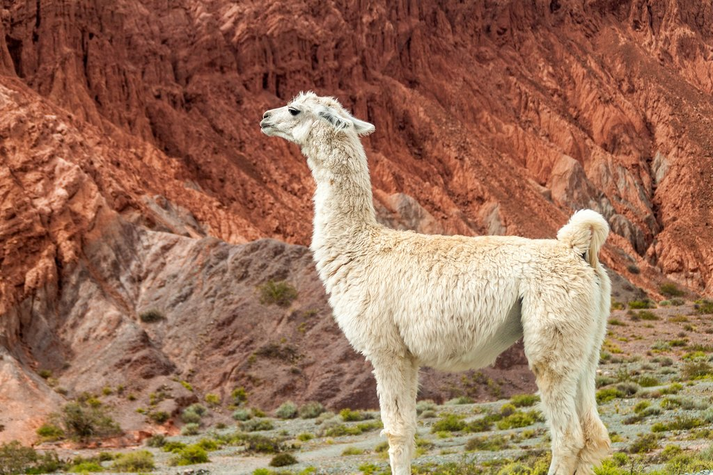 A white llama in the Humahuaca Valley