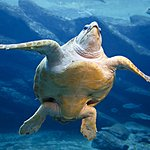 The sea turtle, a magnificent and regal creature