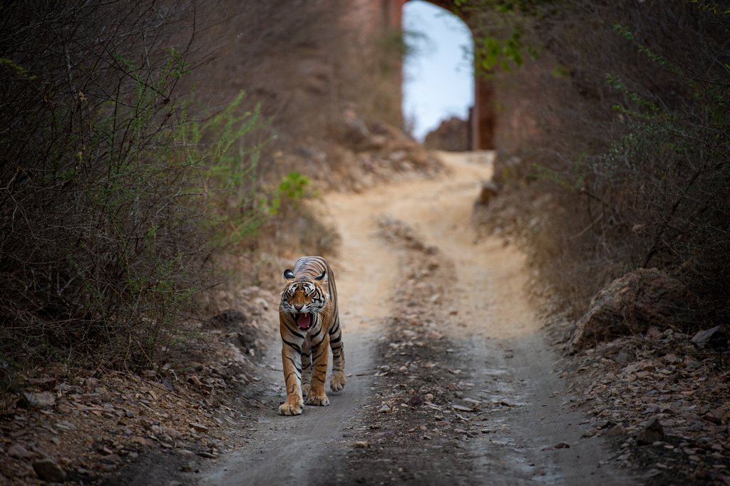 Search for the elusive Bengal Tiger in Ranthambore NP