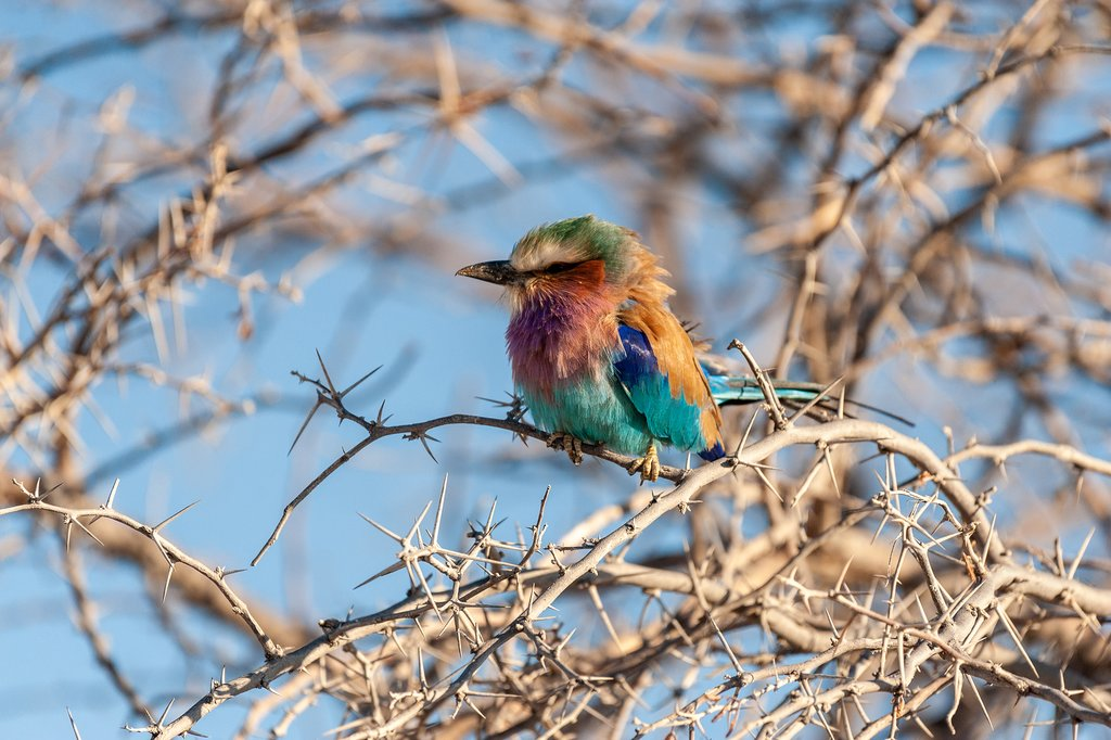 Closeup of a Lilac Breasted Roller in Etosha National Park