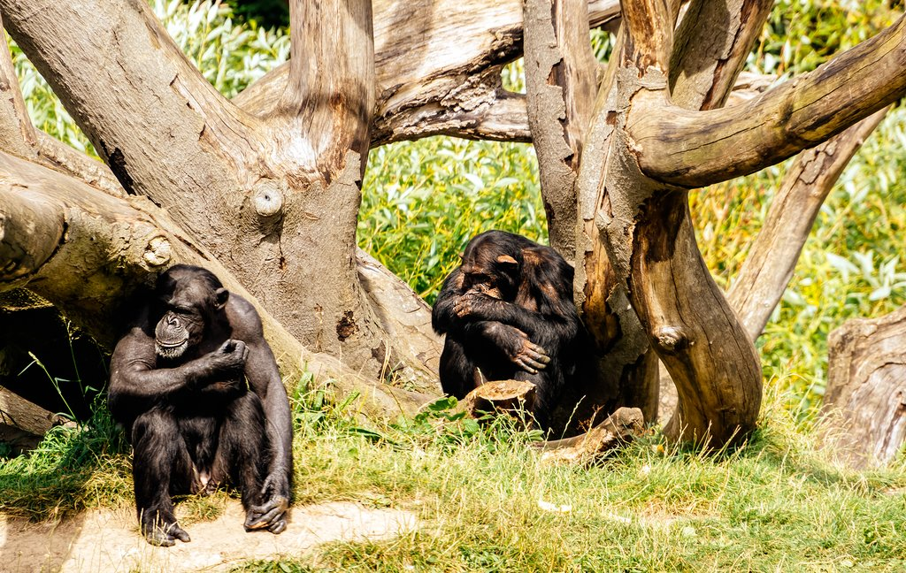 Two large chimpanzees