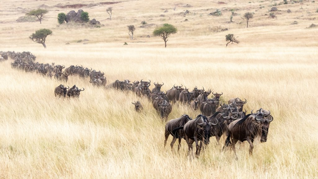 Wildebeest Migrating through the Mara Plains