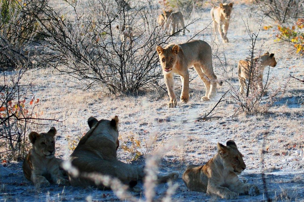 Lions in Etosha National Park Namibia