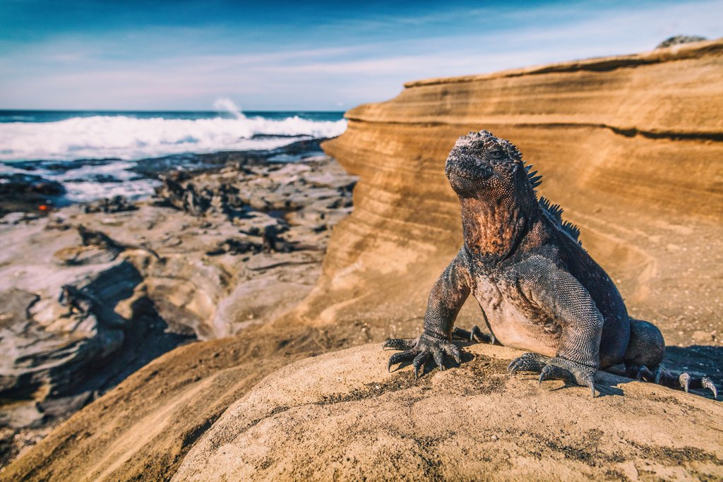 Marine iguana soaking up the sun