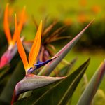 See exotic flowers, like the bird of paradise, at Medellin's Botanical Garden
