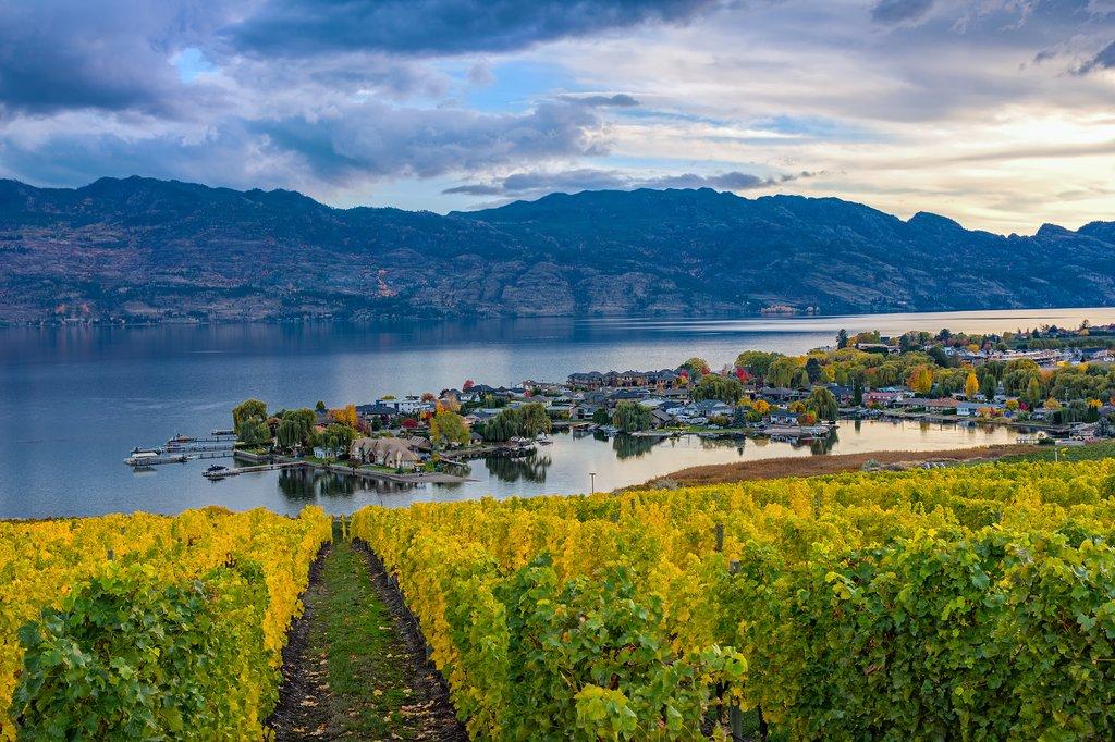 A vineyard overlooking a Kelowna subdivision