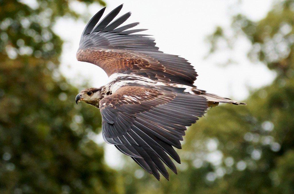 Hawk Eagle at Kalametiya