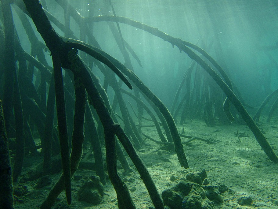The mangrove roots provide a unique sanctuary to hatching fish