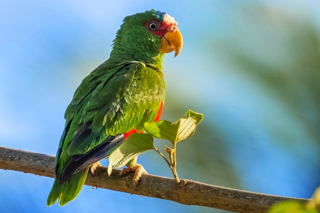 You can see red-lored parrots in Caño Negro