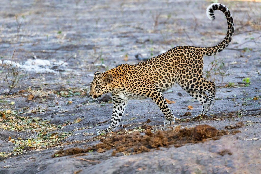 Leopard at the Chobe River