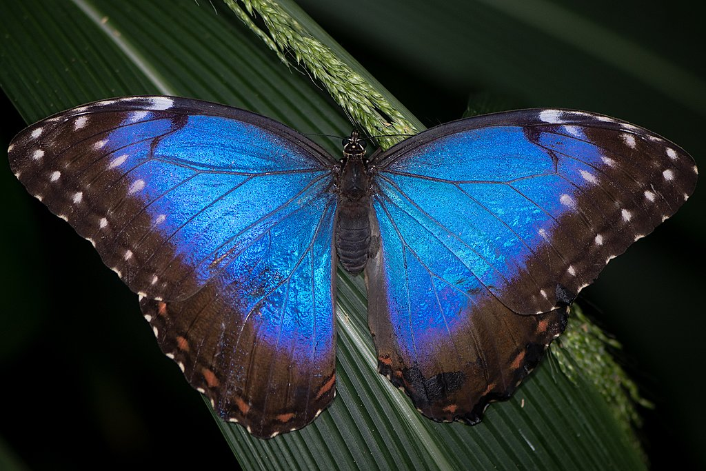 The dazzling Blue Morpho butterfly