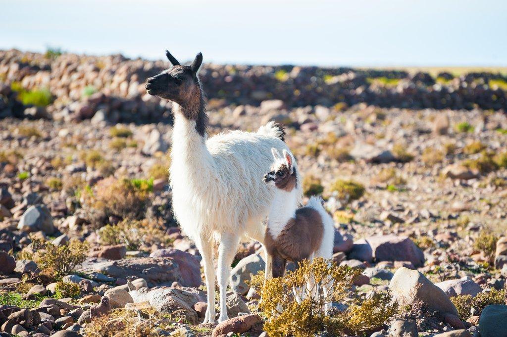 Llama and baby in Altiplano, Bolivia