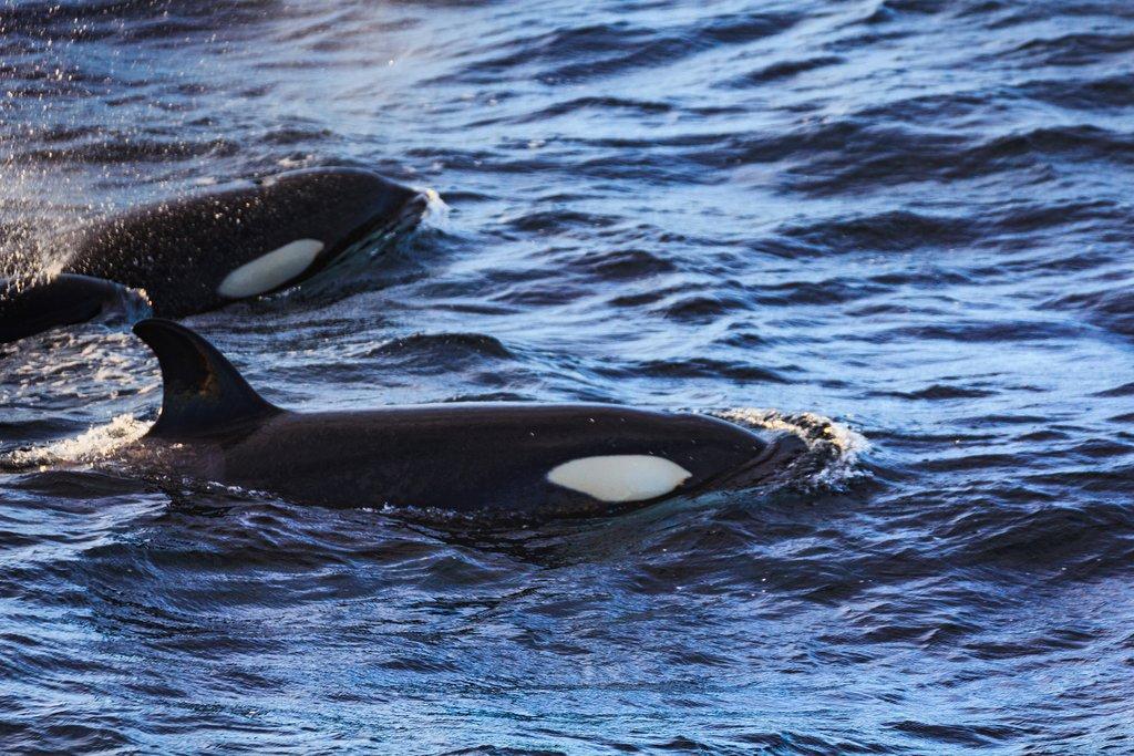 Orca Whales in Andenes, Norway