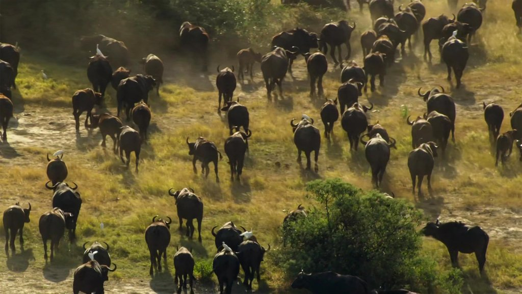 A herd of buffalo grazing at a watering hole