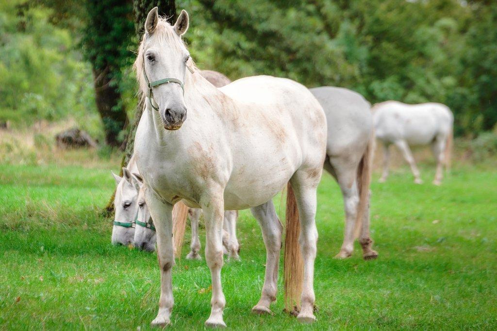 Lipizzan horses in Lipica