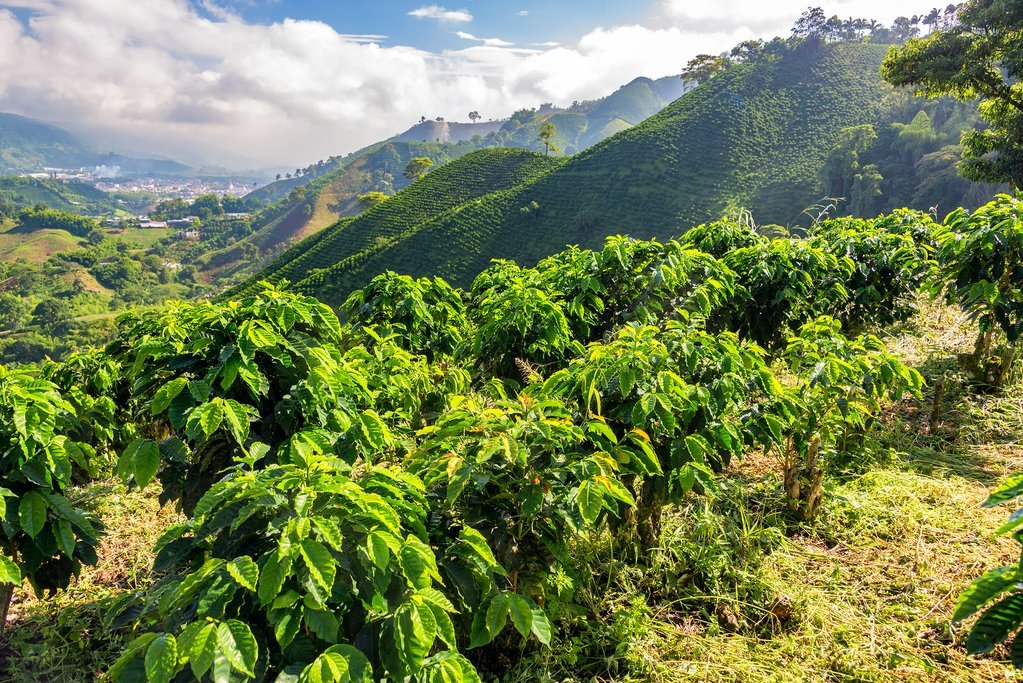 The coffee fields of Colombia's Zona Cafetera