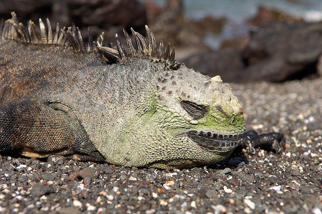 Iguana on Española Island