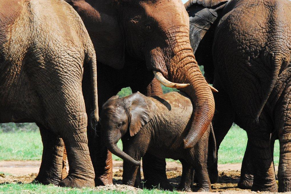 Elephants in Addo Elephant Park