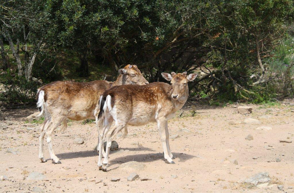 Cervo Sardo Deer in Sardinia, Photo Courtesy of Shutterstock