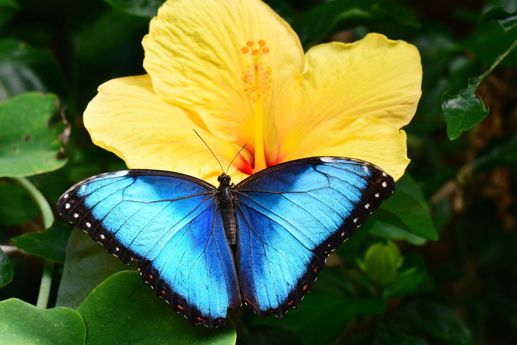 The iconic blue morpho is one species you'll find in the butterfly garden