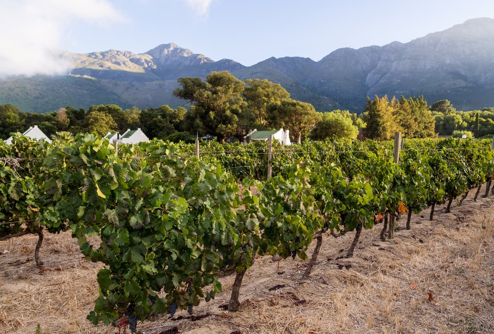 Vineyard in the Franschhoek wine region