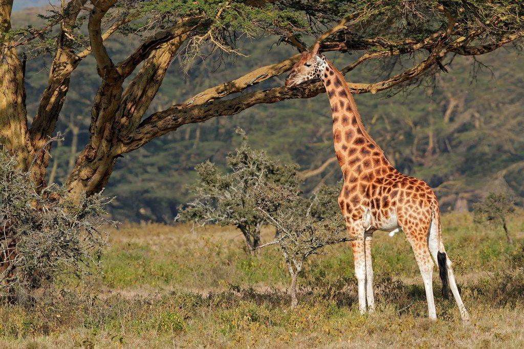 A Rothschilds Giraffe in Lake Nakuru