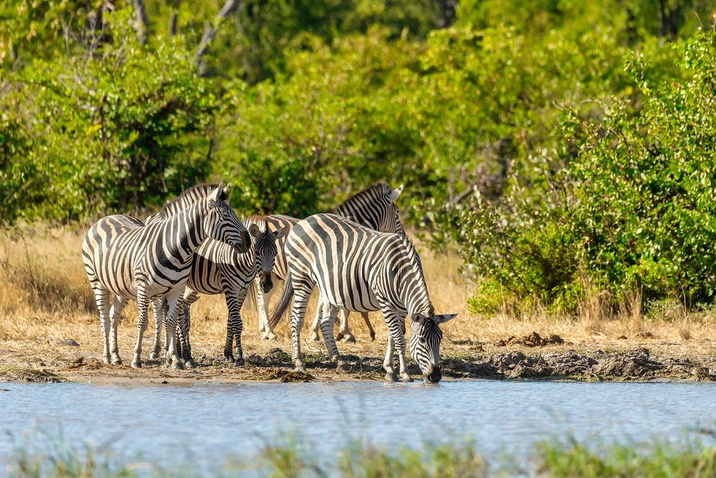 Zebras drinking from waterhole in Moremi Game Reserve