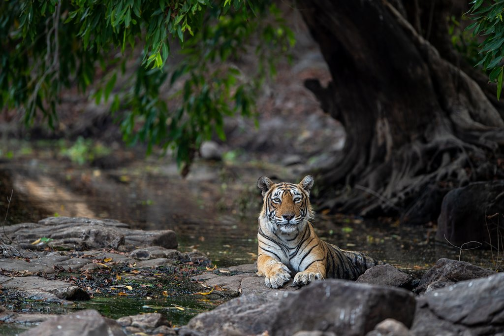 Tiger rests at the Ranthambore Tiger Reserve