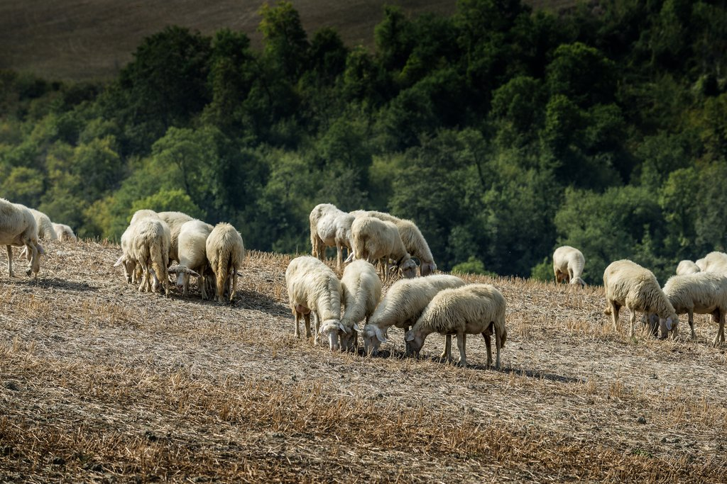 Sheep Grazing in Italy