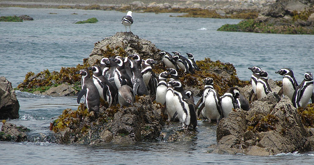 The penguins of Chiloé