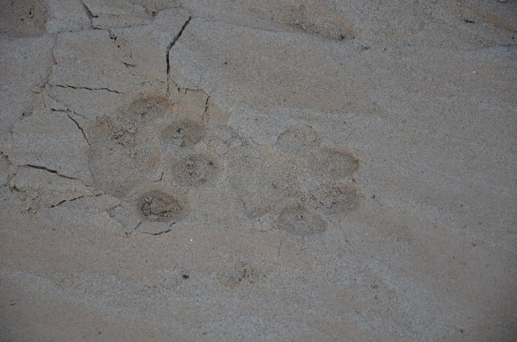 The tracks of the elusive jaguar on the riverbank.