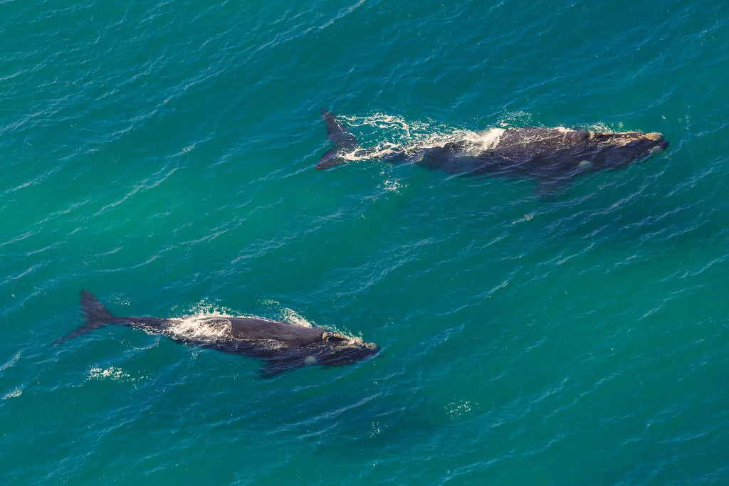 Southern right whales off Hermanus