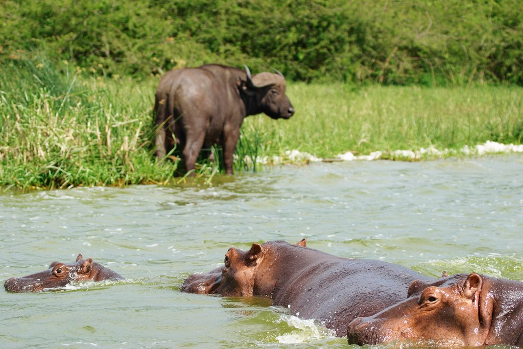 Buffalo and hippos at watering hole in Queen Elizabeth National Park
