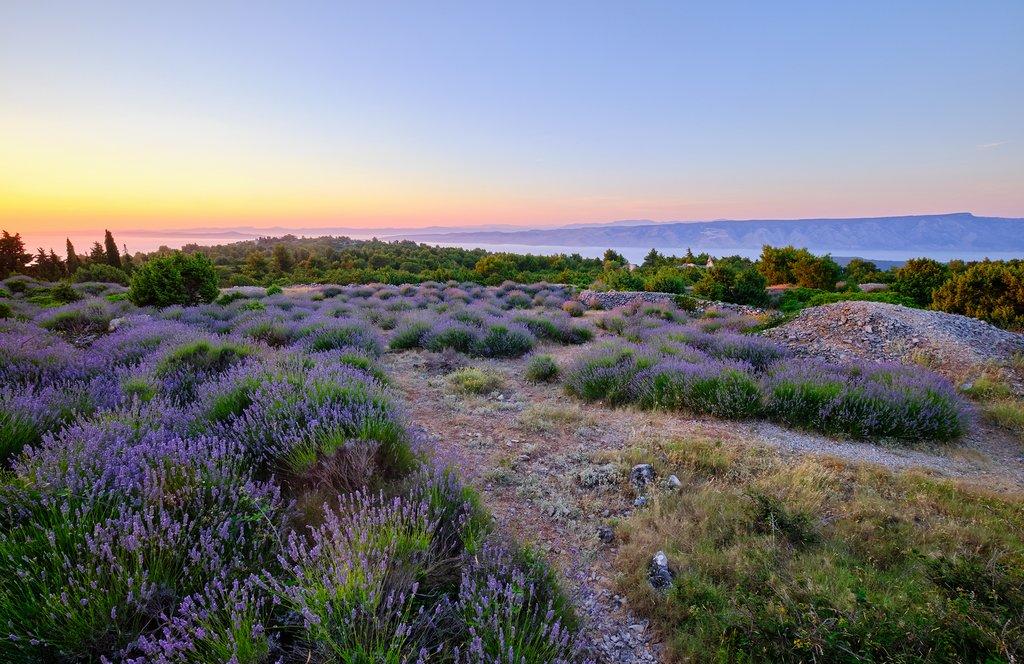 Lavender fields make up part of Hvar's island vegetation
