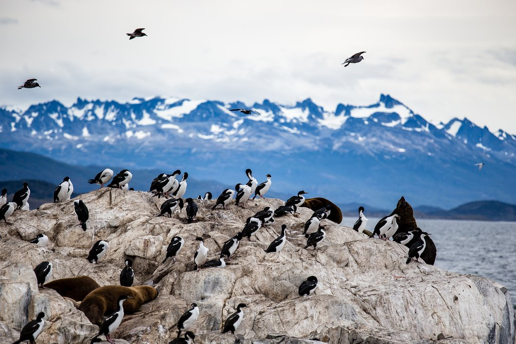 Cormorant colony off the coast of Ushuaia, Tierra Del Fuego, Argentina