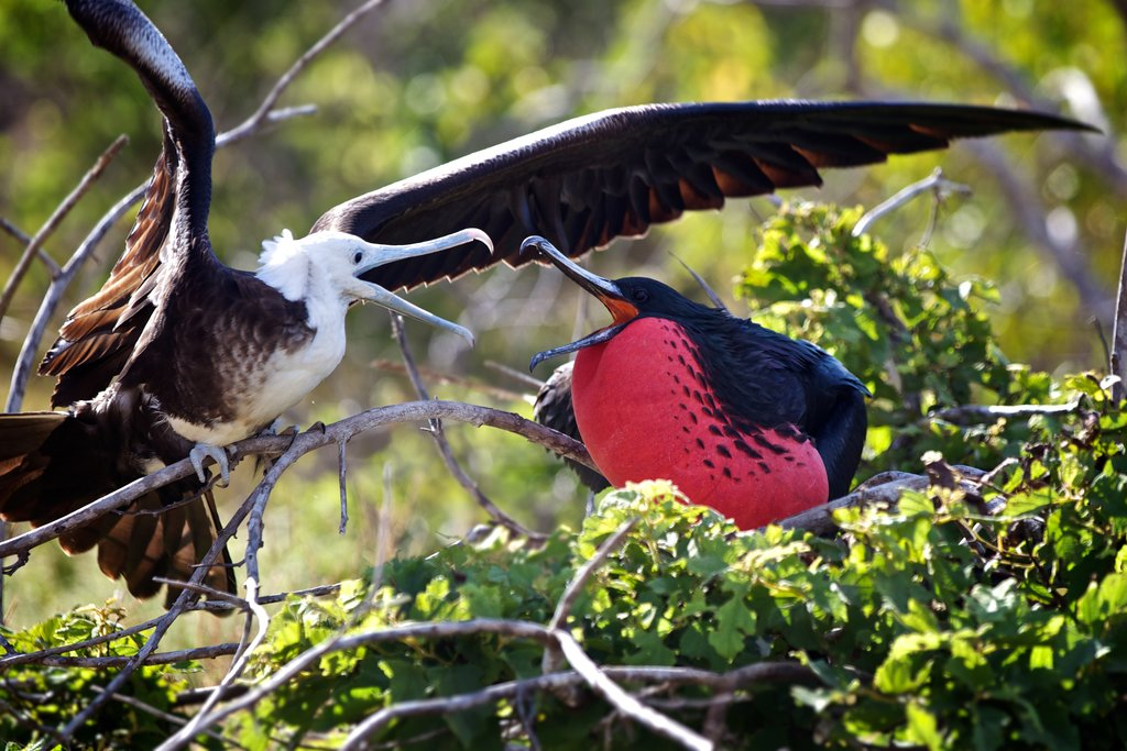 Adult and juvenile frigate birds