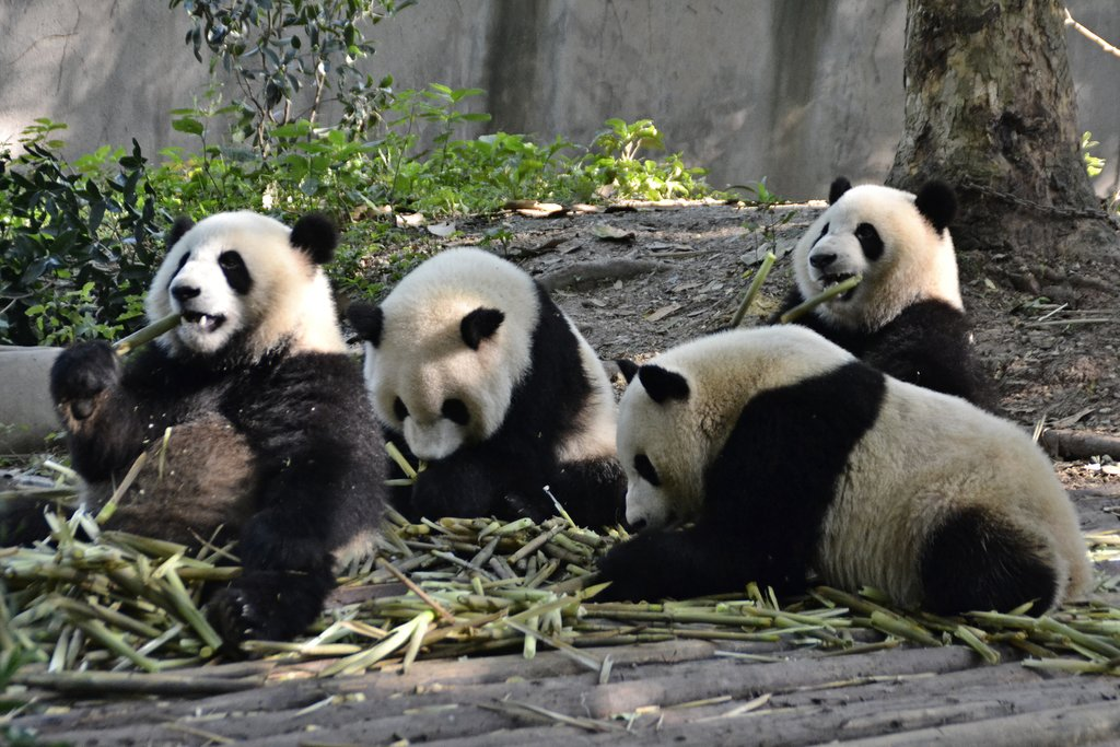 A group of pandas lounging around at Chengdu Panda Base