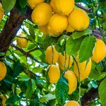 Sorrento Lemon Tour & Cooking Class
