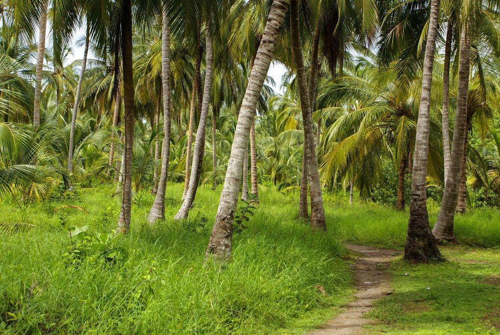 Hike through a palm forest on Isla Múcura