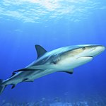 A reef shark on the prowl