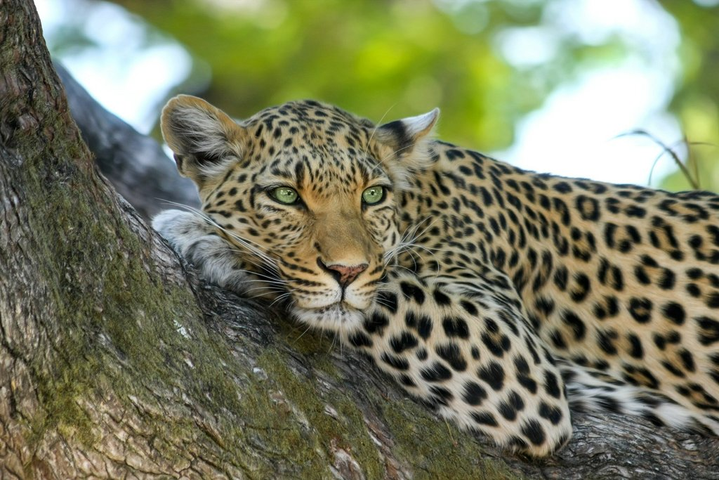 A leopard perched in a tree in Kruger National Park